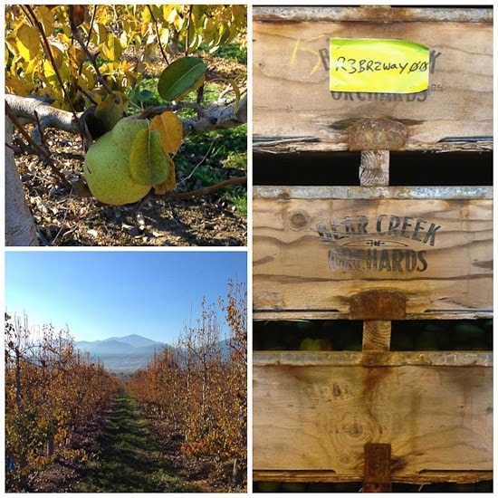 A close-up of a pear growing on a tree, a path through a pear orchard with mountains in the background, a wooden orchard box with Bear Creek Orchards logo